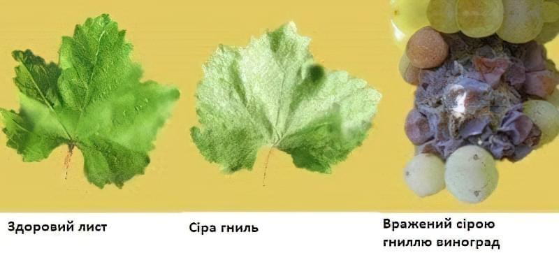 Сіра гниль вражає листя і грону