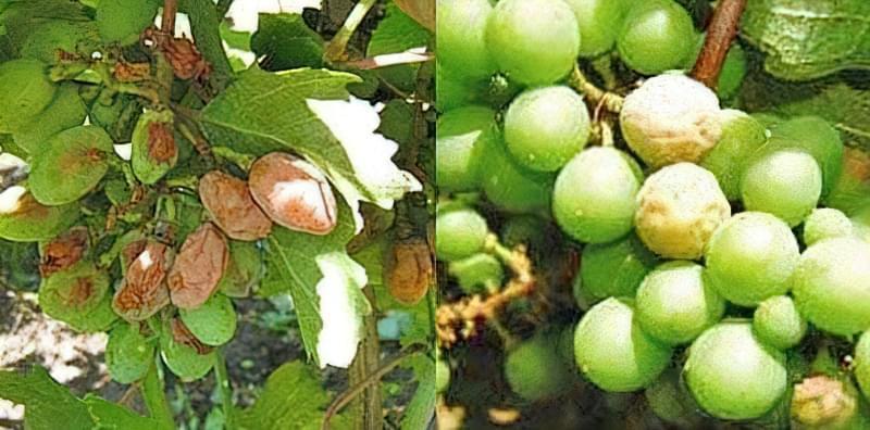 Чим краще і коли обробити виноград від сірої і білої гнилі 1