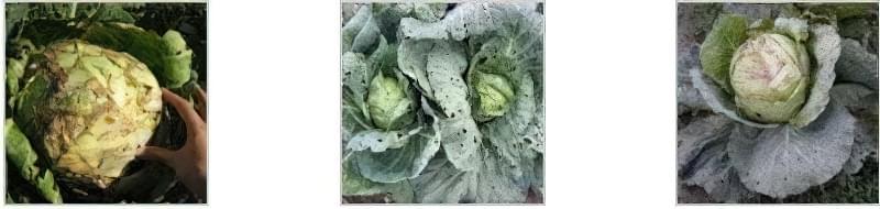 Чому не зав'язується цвітна капуста: список причин 3