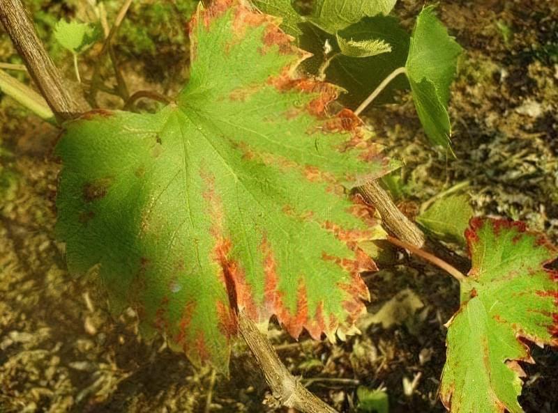 Чому жовтіє та сохне листя винограду і що робити
