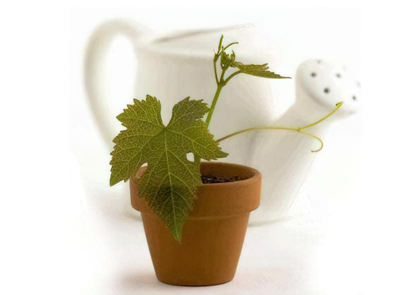 Виноград можна виростити з насіння
