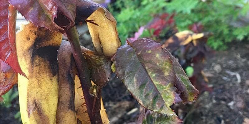 Добриво з бананових шкурок: 15 незвичайних способів їх застосування 12
