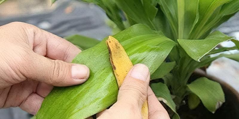 Добриво з бананових шкурок: 15 незвичайних способів їх застосування 14