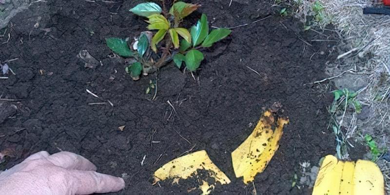 Добриво з бананових шкурок: 15 незвичайних способів їх застосування 5