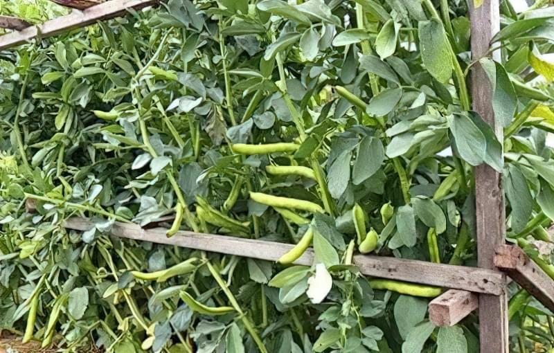 Можна збирати урожай свіжих бобових по мірі їх дозрівання