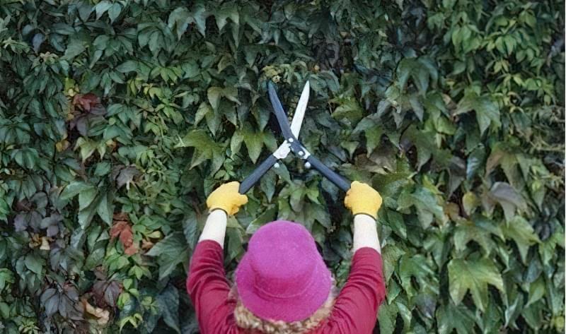 Дівочий виноград потребує щорічної обрізки