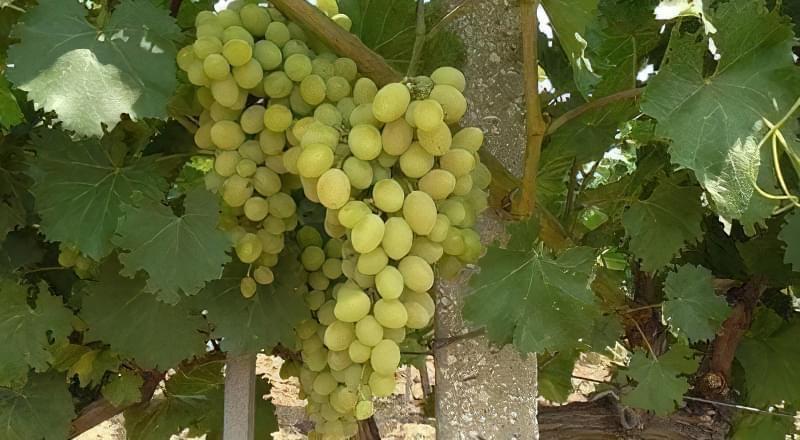 Особливості дозрівання і збору винограду