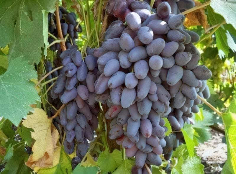 Особливості дозрівання і збору винограду 1