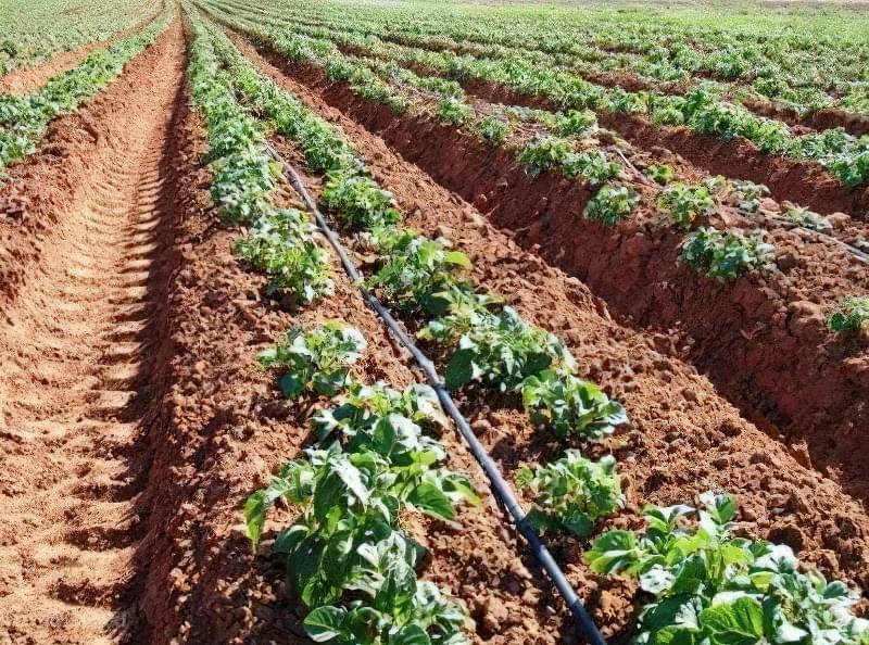 Організація крапельного поливу картоплі