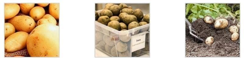 Особливості поливу картоплі у відкритому грунті 1