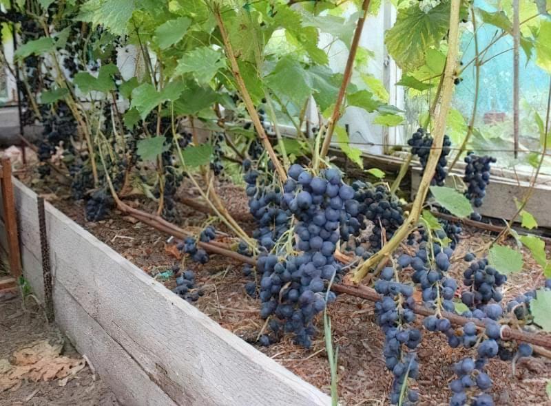 Сорт Блау має середню врожайність