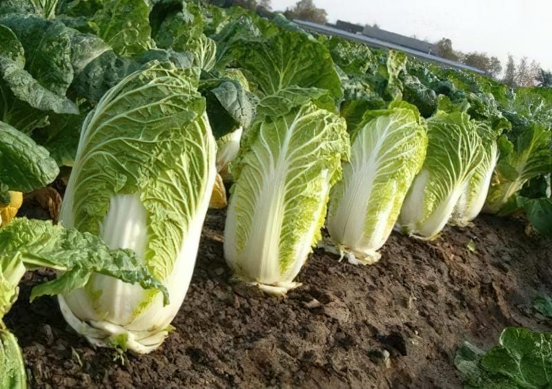 Особливості вирощування пекінської капусти 2