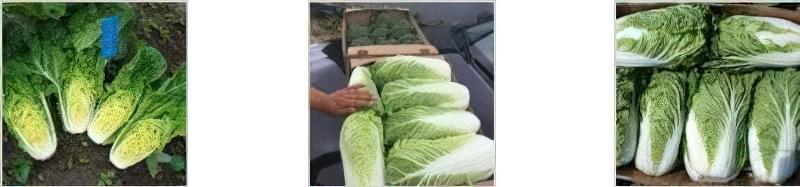 Особливості вирощування пекінської капусти 3