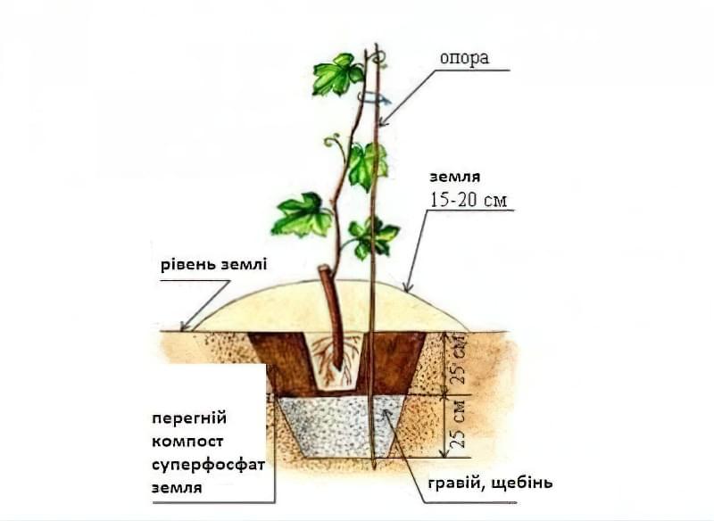 Схема посадки винограду