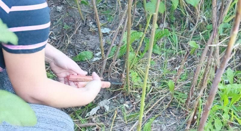 Процедура обрізання малини на городі