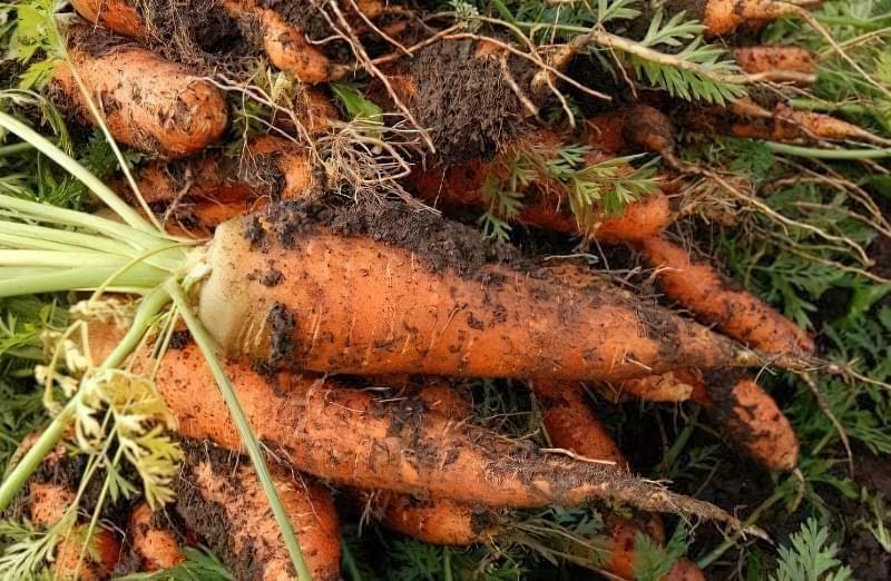 Озимий посів моркви: плюси та мінуси 2