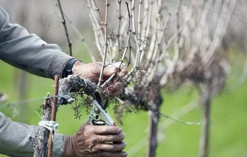 Правила обрізки винограду восени для новачків 26