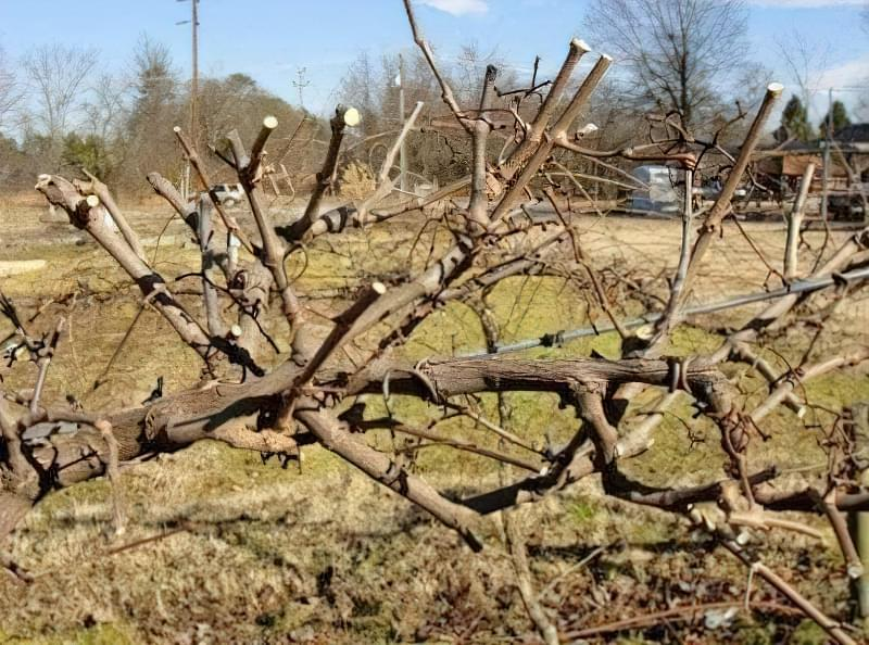 За допомогою обрізки можна омолодити виноград