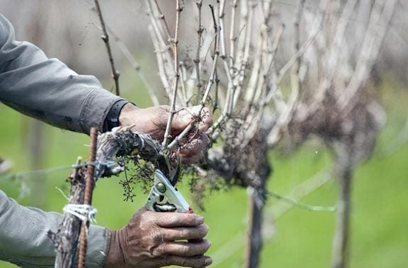 Обрізка молодого винограду полягає у видаленні зайвих пагонів
