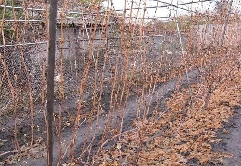 У першій рік виноградну лозу зазвичай не обрізають