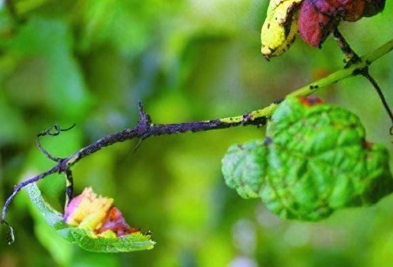 Антракноз завдає величезну шкоду рослині