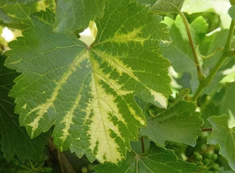 Інфекційний хлороз винограду
