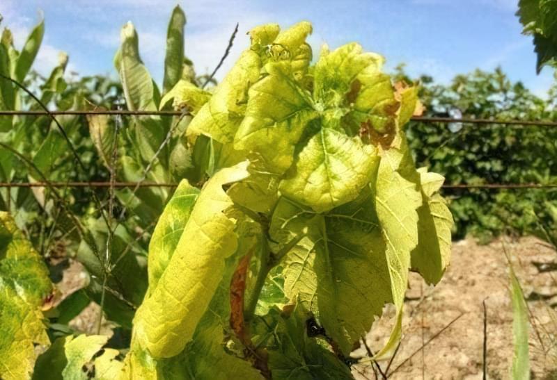 Хлороз винограду можна вилікувати