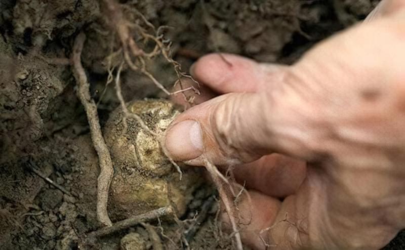 Гриби можна висаджувати у відкритий грунт