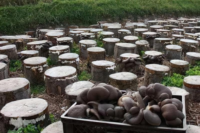 Технологія домашнього вирощування грибів на пеньках 1