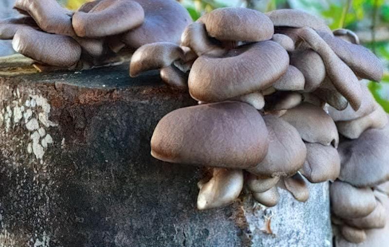 Існує кілька способів вирощування грибів на пеньках