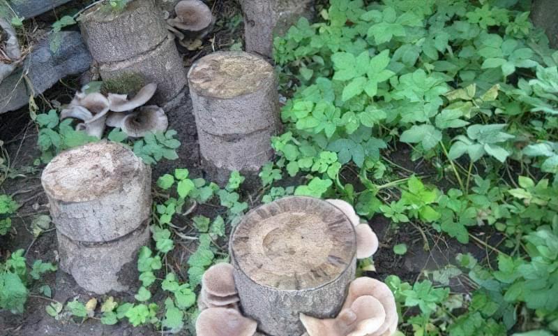 За сезон можна збирати грибочки кілька разів