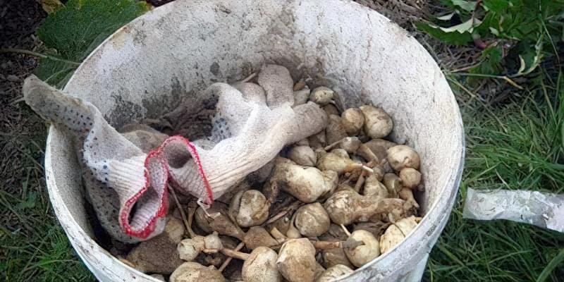 Вирощування топінамбура: посадка, догляд, сорти 2