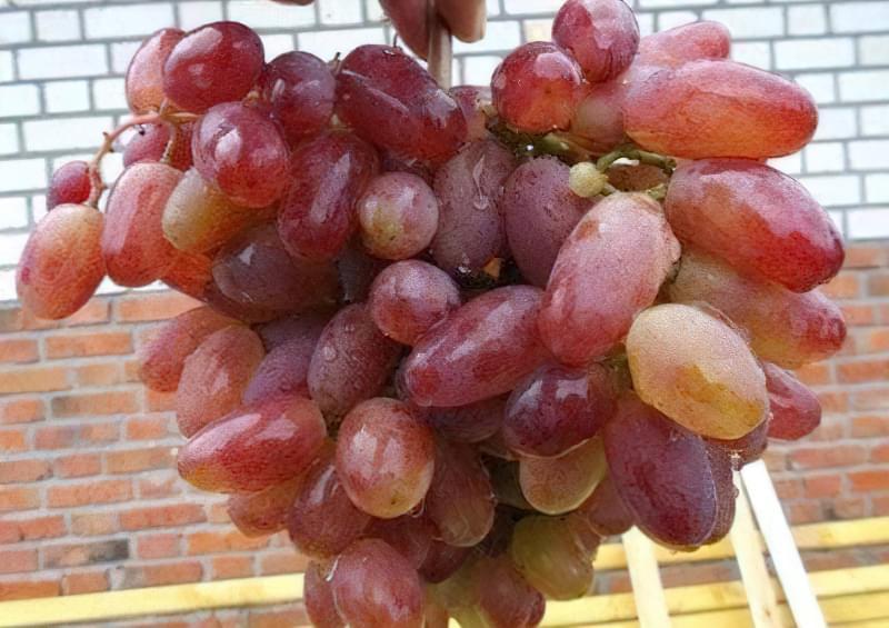Популярний сорт винограду Юліан