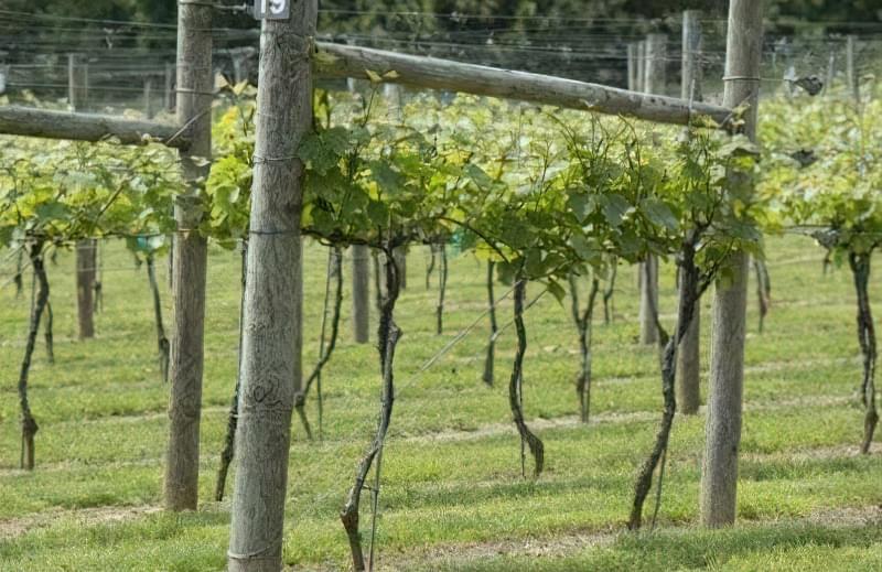 Дерев'яні шпалери для винограду надають природності ландшафту