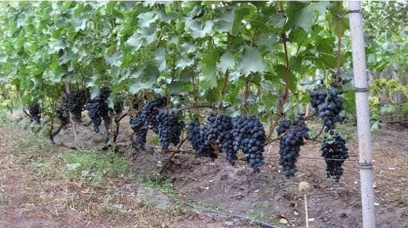 шпалера дає можливість вкрити виноград взимку