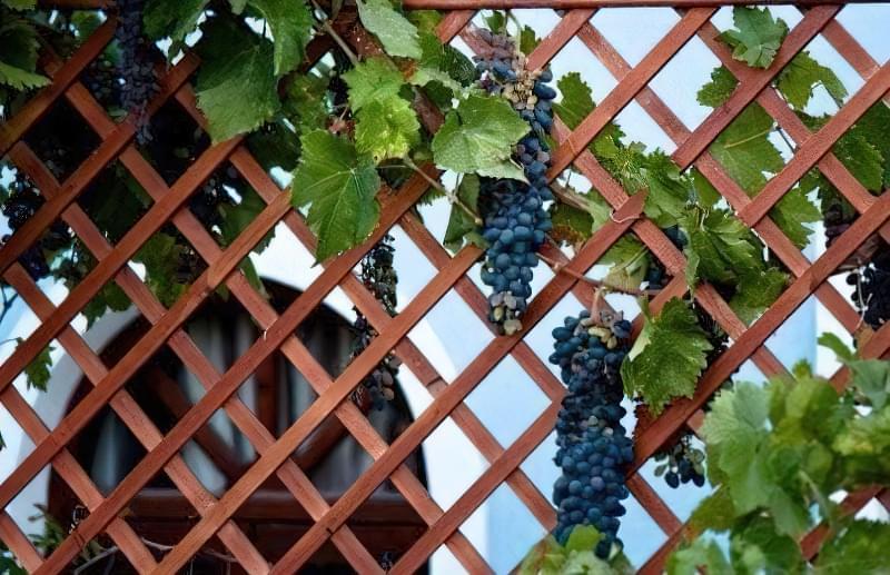 Кучерява виноградна лоза створює романтичну атмосферу