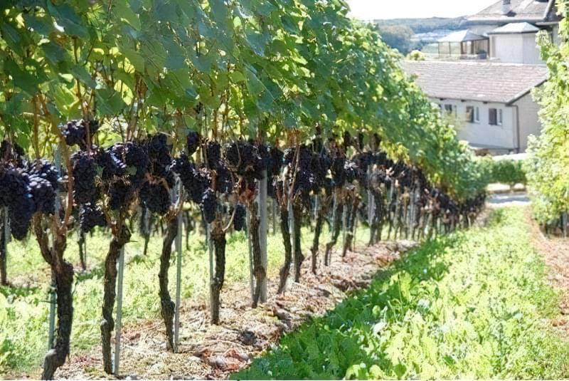 При вирощуванні винограду важлива опора або шпалера