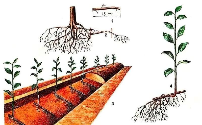 Розмноження вишні кореневими живцями