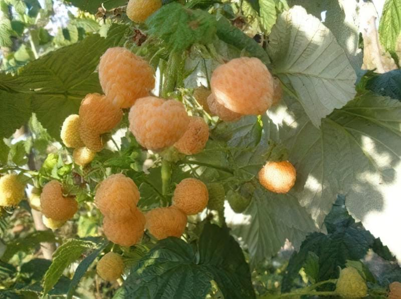 Сорт жовтої малинки - Ранкова роса