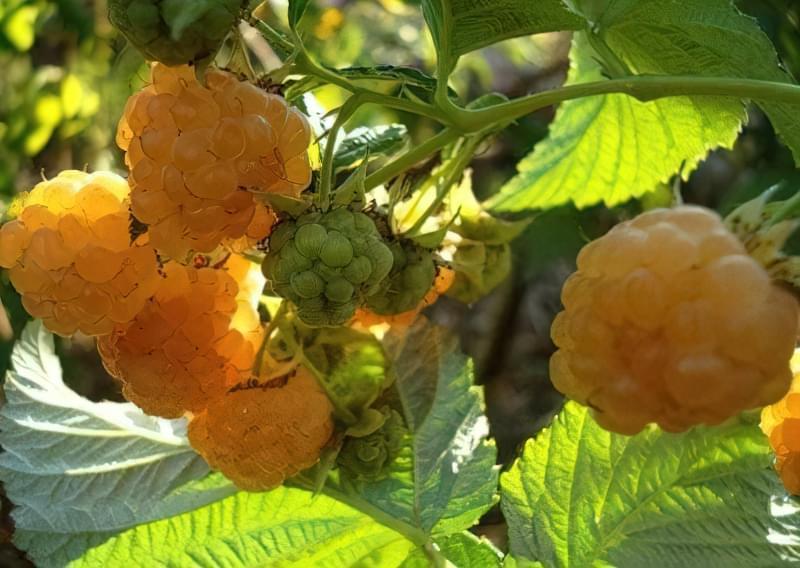 Сорт малинки - Жовта сластена