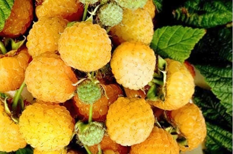 """Плоди малини """"Помаранчеве диво"""""""