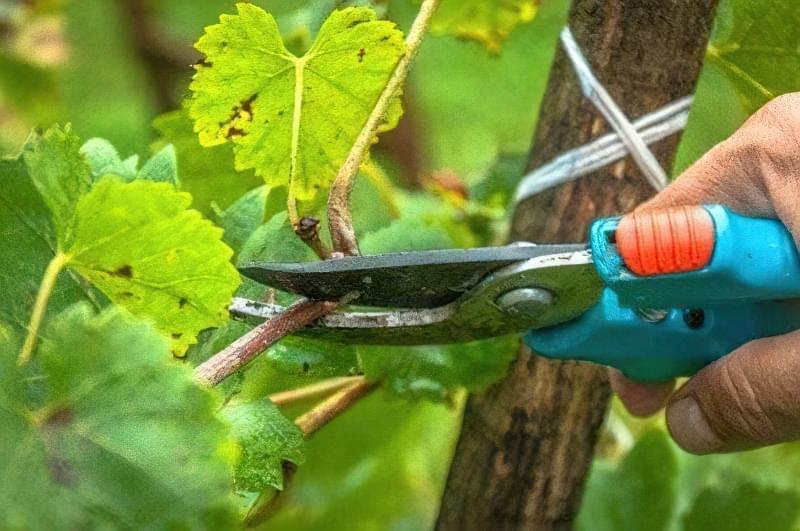 Етапи та особливості проведення обрізки винограду влітку 1