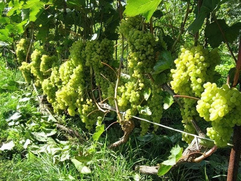 Обриваючи листя винограду ви проводите освітлення