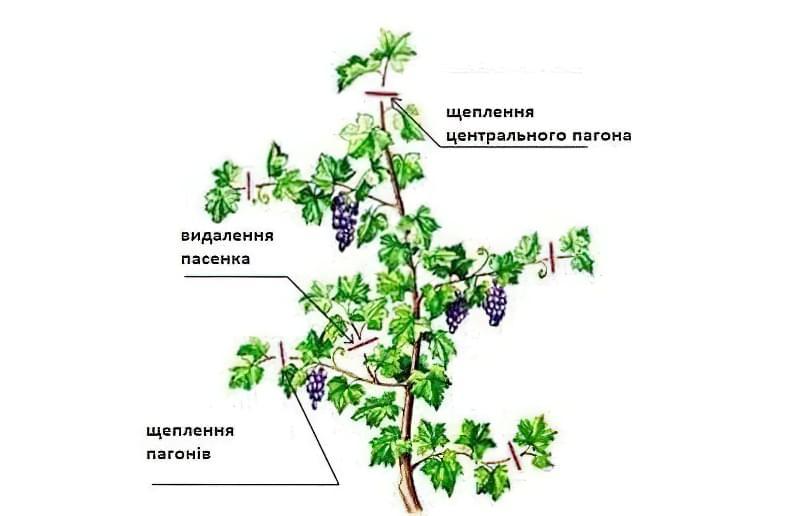 Обрізка винограду влітку