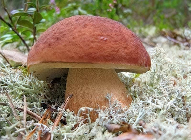 На присадибній ділянці лісові дерева необхідні для грибів