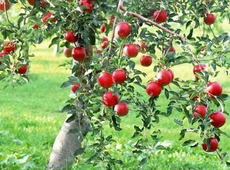 Плодоношення яблуні починається через 5 років з моменту посадки