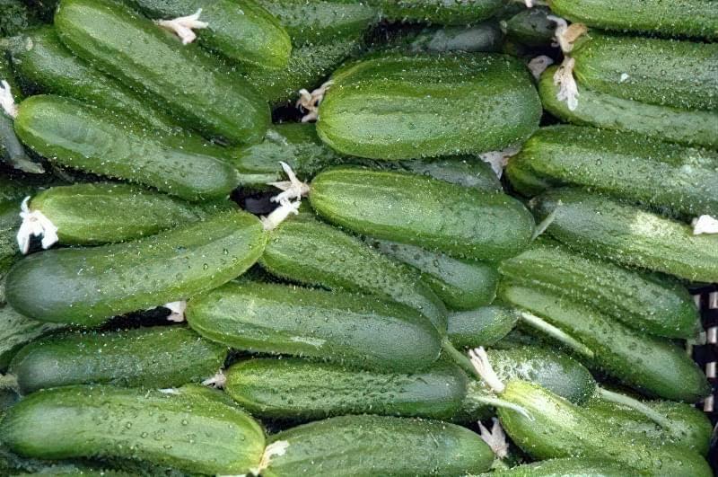 5 кращих сортів огірків для вирощування 2