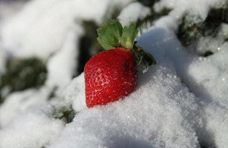 5 важливих пунктів догляду за полуницею восени і підготовка до зими 1