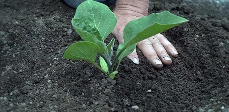 Сприятливі дні для висадки розсади овочевих культур 5