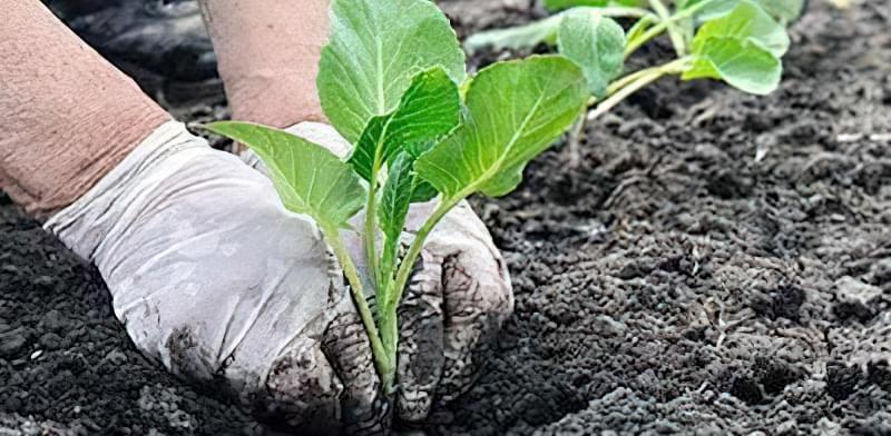 Сприятливі дні для висадки розсади овочевих культур 6